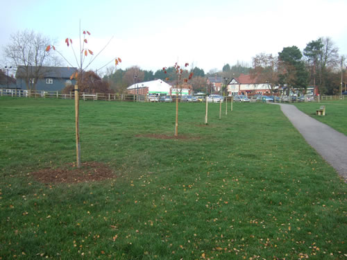 Six new wild cherry trees on Kelsall Green.