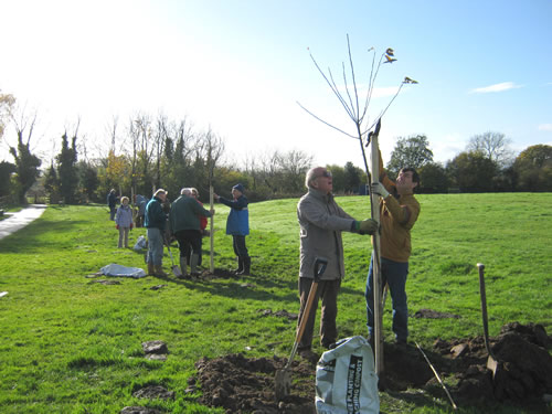 Working Party planting wild cherry trees on Kelsall Green, 10th November 2012.